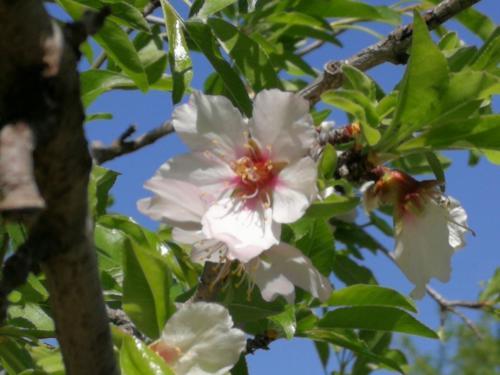 mandorlo in fiore, Valle dei Templi, Agrigento, foto di Dario Bottaro